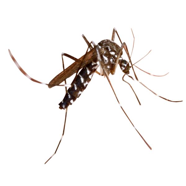 комар Алушта